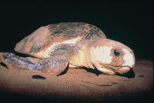 Mon Repos Turtle Experience